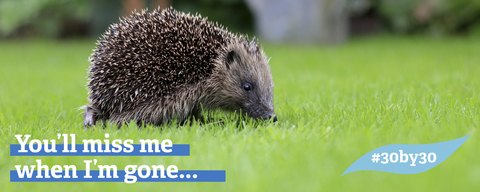 Hedgehogs are vulnerable to extinction in the UK and need our help