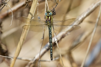 Hairy Dragonfly