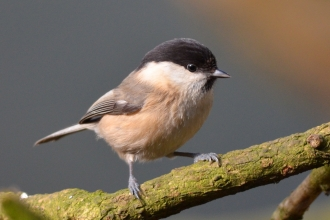 A rare willow tit standing on a tree branch