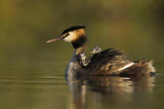 A great crested grebe swimming with two small chicks on its back