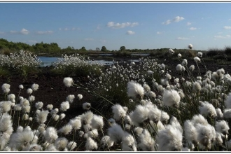 cotton grass blooming on Little Woolden Moss