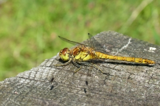 A female black darter dragonfly basking on wood in the sunshine at Holiday Moss