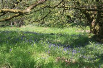 Bluebells blooming in the woodland at Moor Piece nature reserve