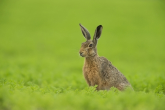 A brown hare sitting in a bright green field