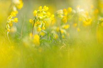 Close-up of a field of bright yellow cowslips by Jon Hawkins