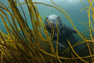 Grey seal in kelp forest