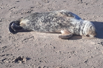 Seal Pup Found on Cleavelys Beach