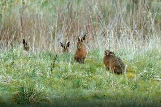 Hares on Countryfile