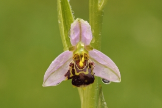 A bee orchid dripping with fresh morning dew