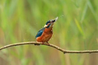 A kingfisher sitting on a twig and shaking a fish from side to side