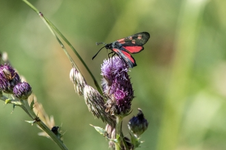Burnet Moth on Thistle