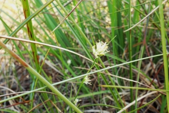 White Beak Sedge