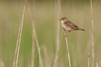 A sedge warbler clinging onto a strand of grass