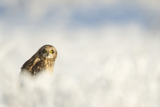 A short-eared owl sitting in the snow and looking into the camera