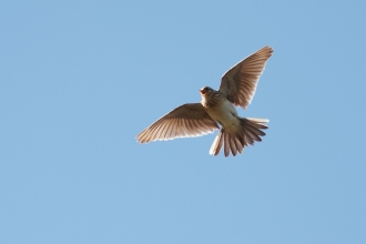 A skylark flying high into the sky and singing