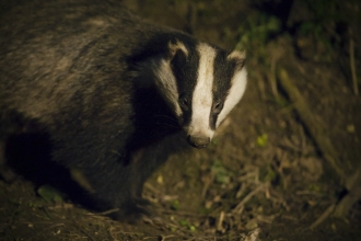 Badger by Neil Aldridge