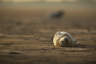 Grey seal by Neil Aldridge