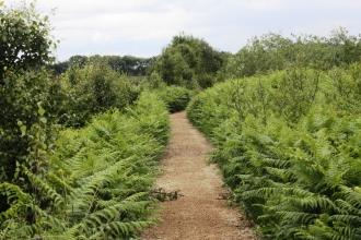 A footpath leading through the ferns on Cadishead Moss