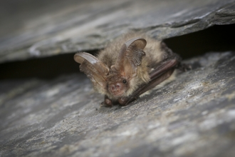 A brown long-eared bat resting on a roof tile