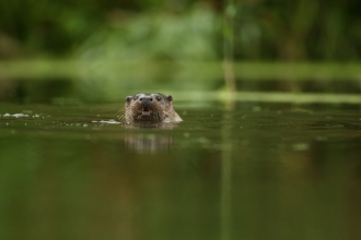 An otter swimming towards camera along a lush waterway