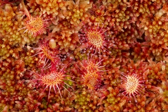 Close-up of the mossland plant round-leaved sundew