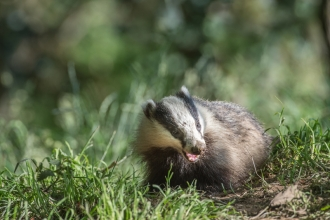 A badger standing on grass and eating