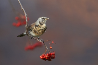 A fieldfare sitting on a branch covered in red berries