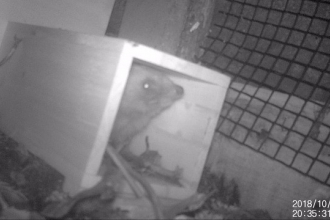 Trail camera footage of a hedgehog sniffing the air as it steps out of a hedgehog house