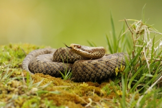 An adder basking on a mossy mound, tasting the air with its tongue