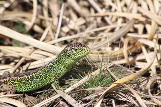 A male sand lizard displaying stunning green colours as it stands in vegetation