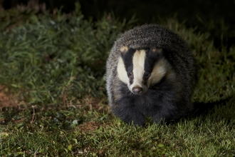 A badger walking towards camera through the darkness at night