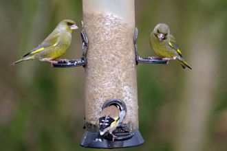 Two greenfinches and a goldfinch on a bird seed feeder