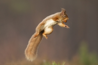 A red squirrel jumping into the air with a nut in its mouth
