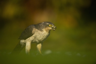 A sparrowhawk eating prey on the grass in an urban garden