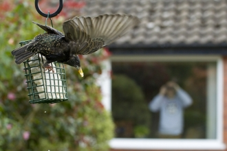A starling flying away from a suet feeder while someone watches from their window