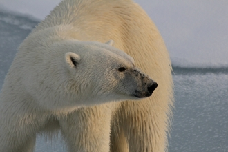 A polar bear standing on ice in the Arctic