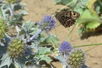 A grayling butterfly feeding on sea holly in the Sefton dunes