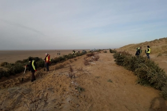 Volunteers planting Christmas trees to form new sand dunes at St Anne's