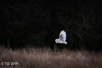 A barn owl hunting over our Heysham Moss nature reserve