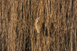 A bittern in the reeds at Doffcocker Lodge in Bolton