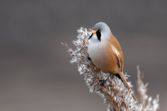 A male bearded tit sitting on a reed at Lunt Meadows nature reserve
