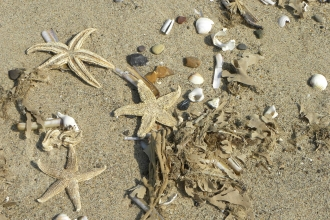Starfish, seaweed and shells on a beach during a strandline survey