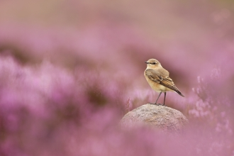 A female wheatear standing on a rock amongst a sea of pink heather