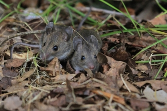 A pair of wood mice crouched together in leaf litter