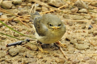 Willow warbler chick by Dave Steel