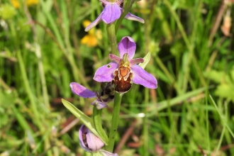 A rare bee orchid by Dave Steel