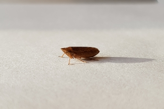 An adult common froghopper sitting on a piece of paper
