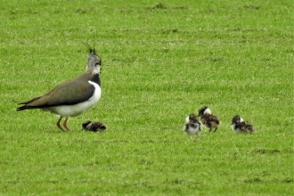 Lapwing and chicks by Dave Steel