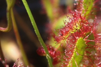 Sundew by Alan Wright