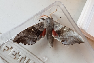 A poplar hawkmoth at Mere Sands Wood nature reserve